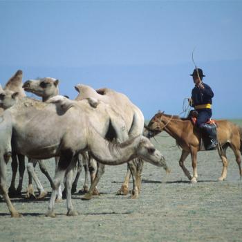 durgum nuur camel herder